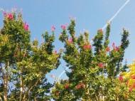 サルスベリと飛行機雲