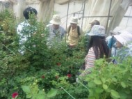 バラ農家視察とバラの鉢植え作り 廿日市市 T園芸