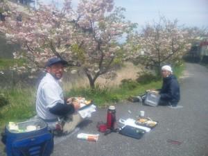 仕事場の隣の土手の八重桜