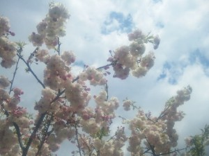 桜の花の観察会