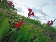 希望と復興の花 カンナ