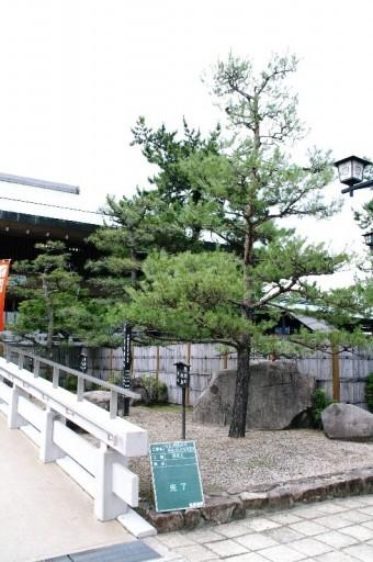 宮島の由緒ある松の樹の剪定