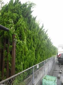 カイヅカイブキ・トウカエデなどの剪定とウメの伐採 廿日市市 N邸