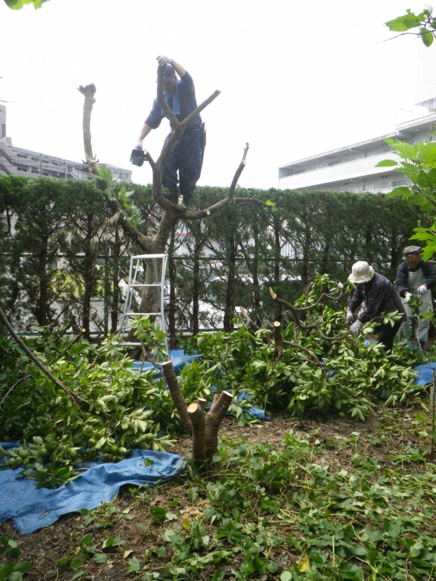 カイヅカイブキ・トウカエデなどの剪定とウメの伐採