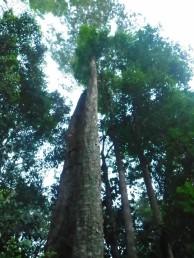 セランガンバツの原木