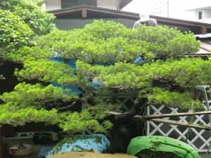 樹齢約100年相当のクロマツ