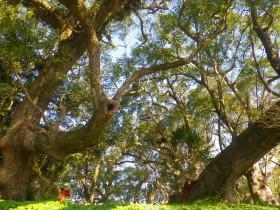 クスノキの巨木群