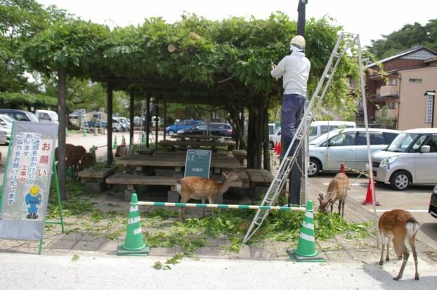 藤棚剪定と鹿さんの食餌 廿日市市 世界遺産の島