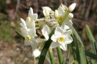 蜜蜂とスイセン