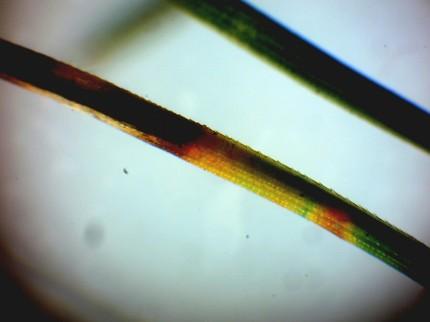 実体顕微鏡で観察状況